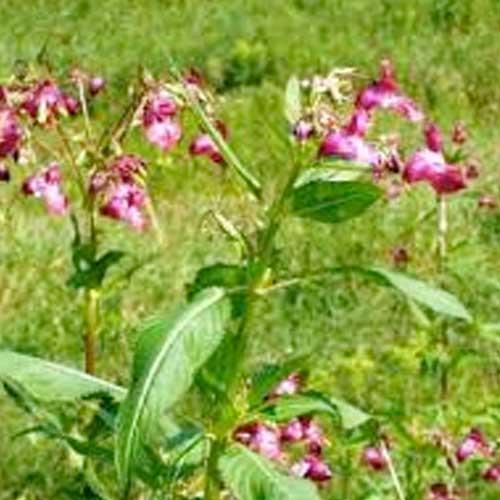 Das Indische Springkraut (Impatiens glandulifera)